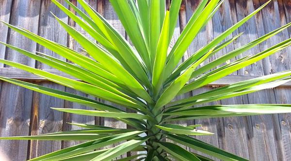 Yucca pied d'éléphant