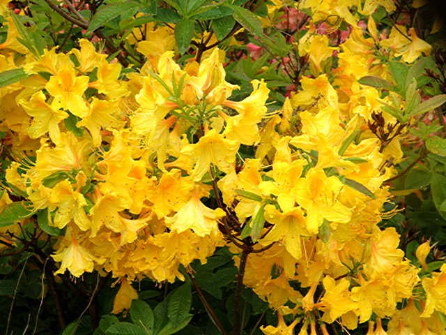 Rhododendron Golden Oriole